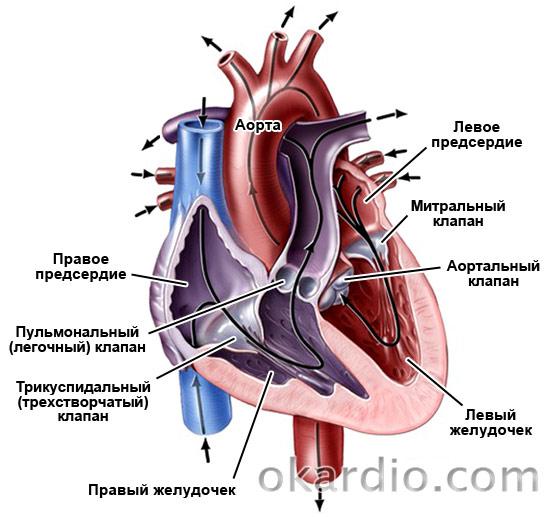 Клапаны и строение сердца